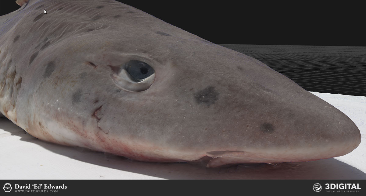 Smooth hound shark photogrammetry