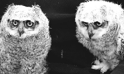They're sooooooo cute! – Week One – Raising baby Great horned owls