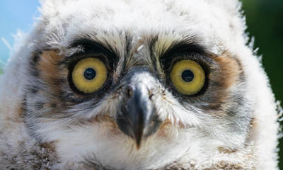 Owl you doin'? Raising Great horned owls – Introduction