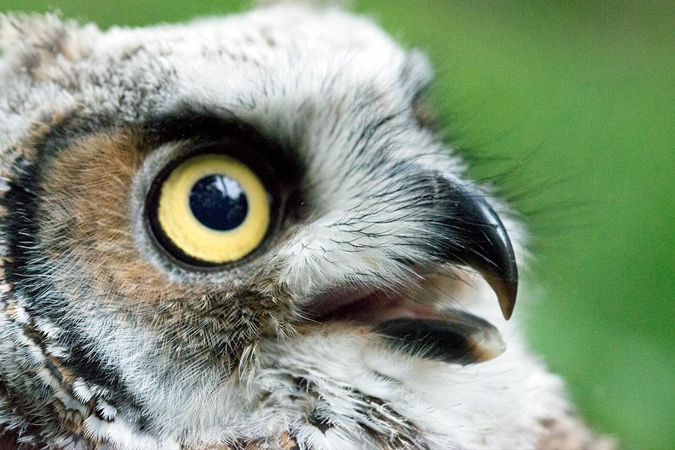 A baby great horned owl opens her beak