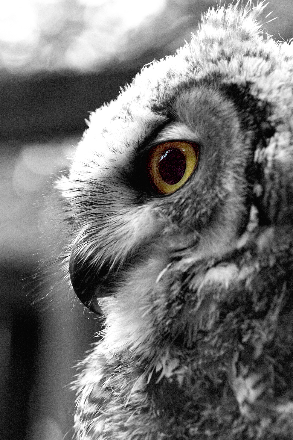 Black and white portrait of a baby great horned owl