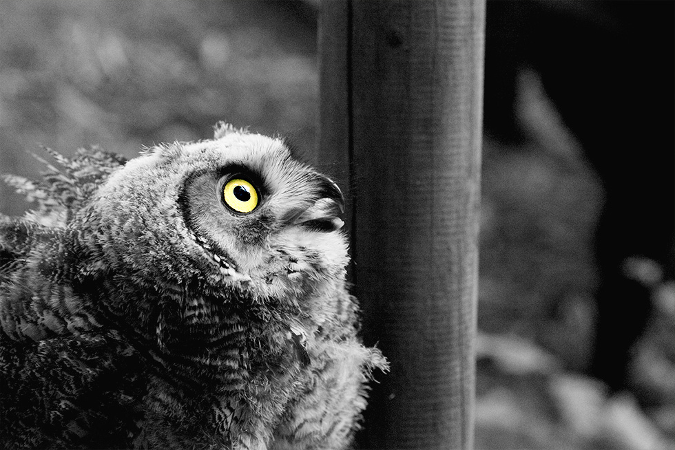 Black and white picture of a baby great horned owl, looking upwards