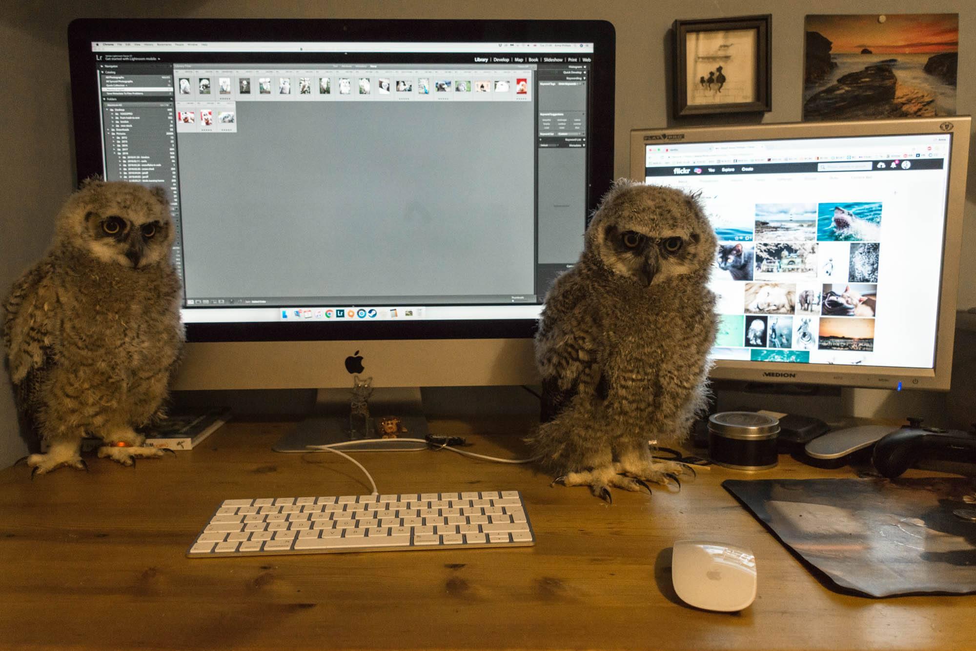 Baby great horned owls vs Imac