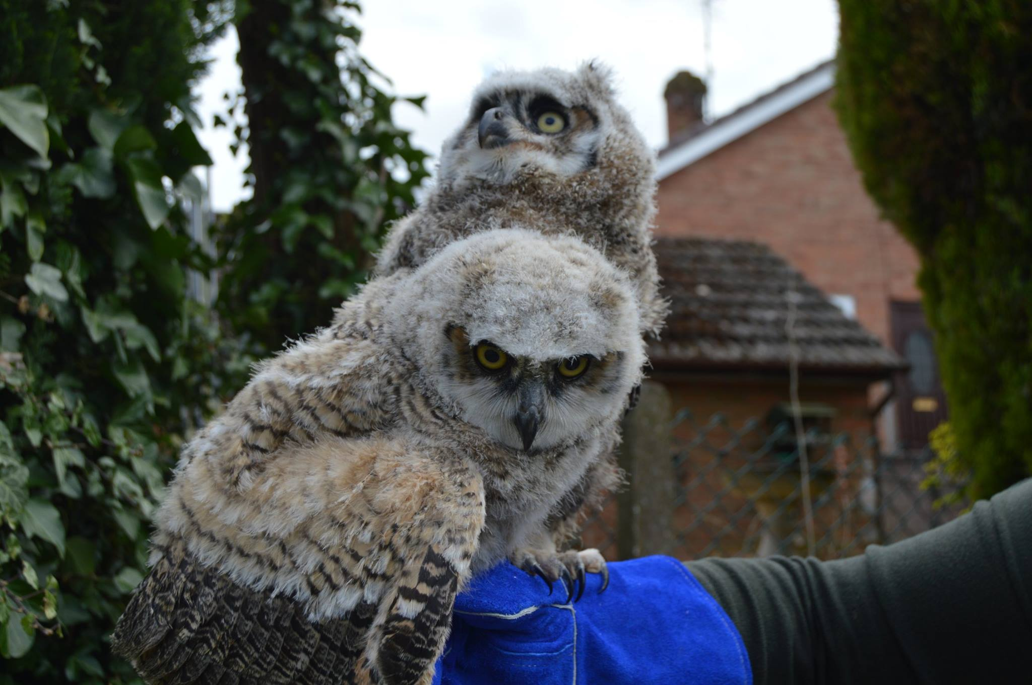 Great horned owls on our hands