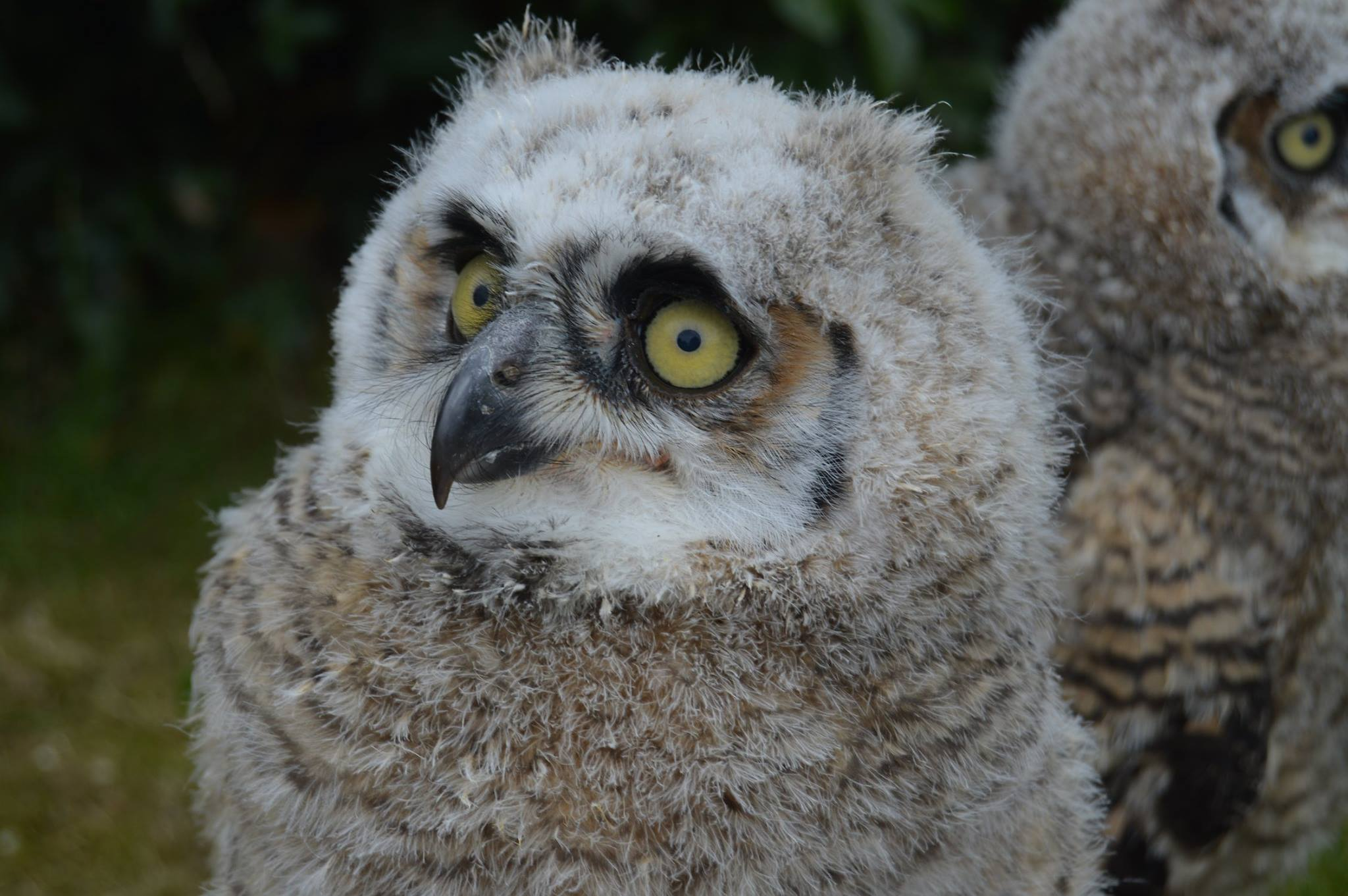 Baby great horned owl looking fluffy