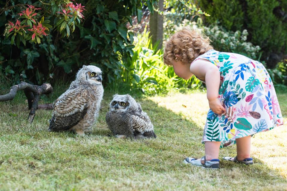 Baby great horned owls and a ginger toddler