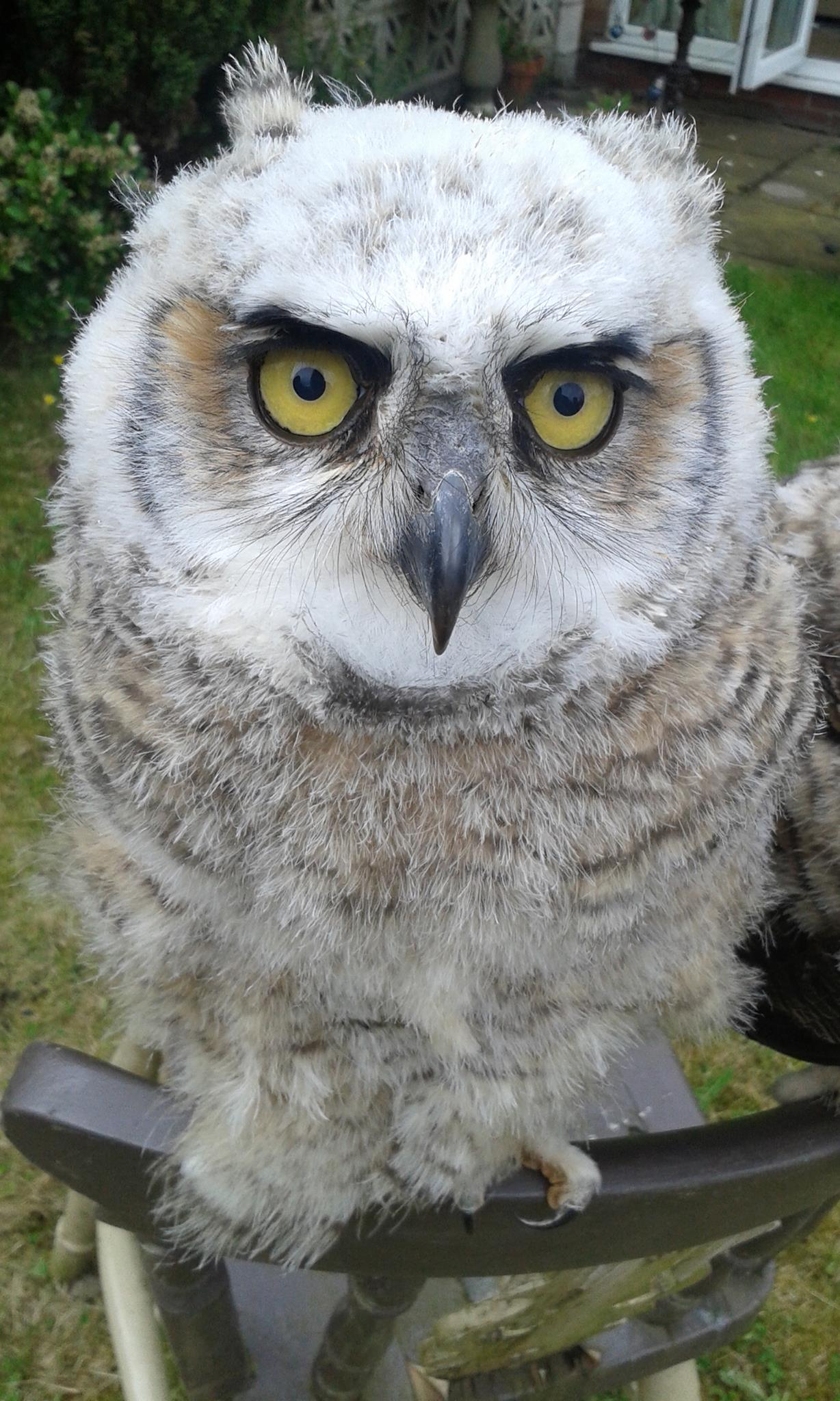 Stinky the great horned owl