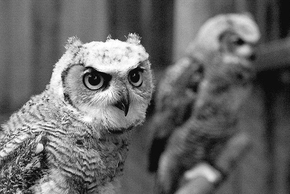 Two great horned owl siblings, sitting side by side