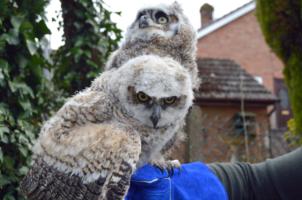 Baby great horned owls on an arm, being cool