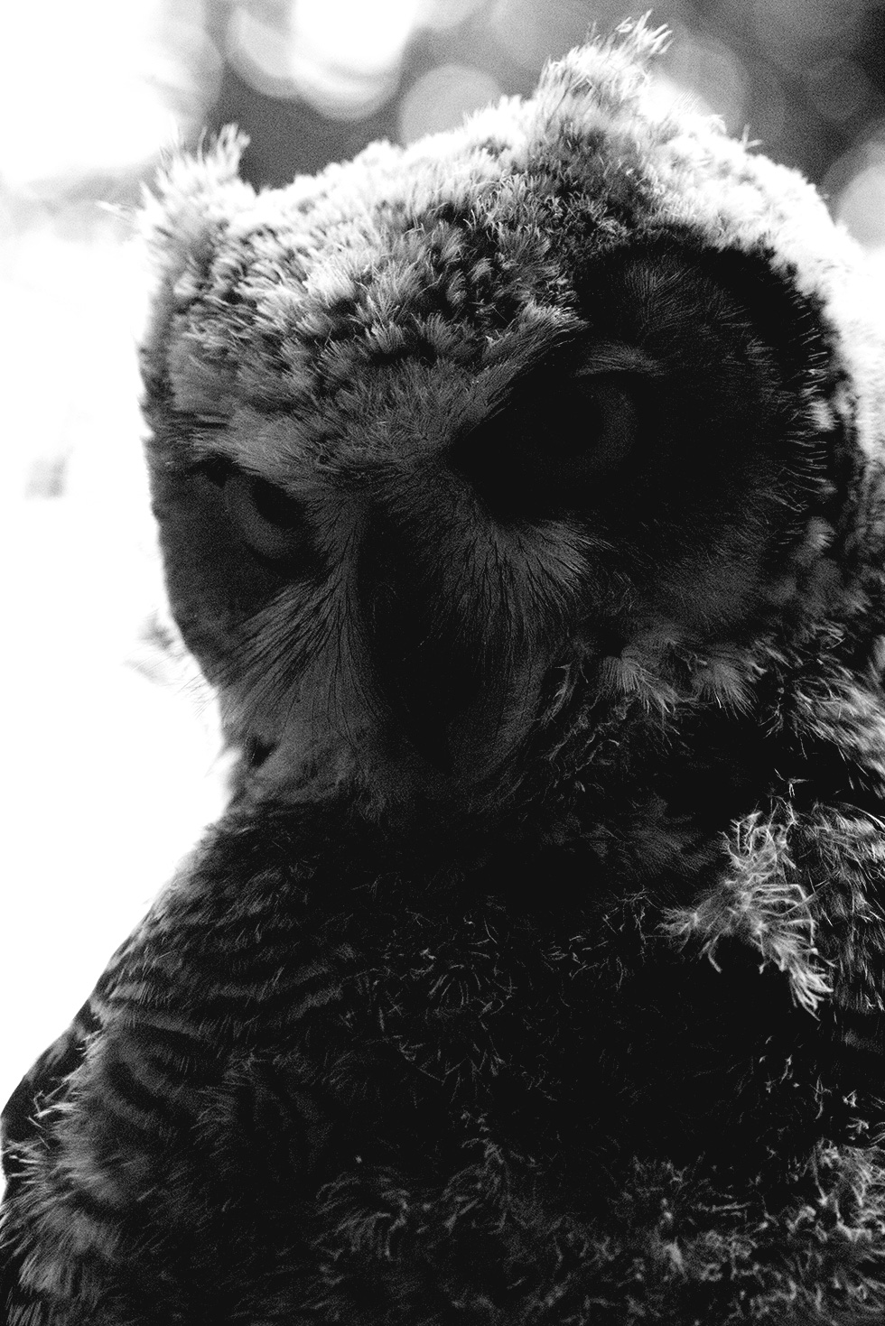 Shadowed picture of a baby great horned owl