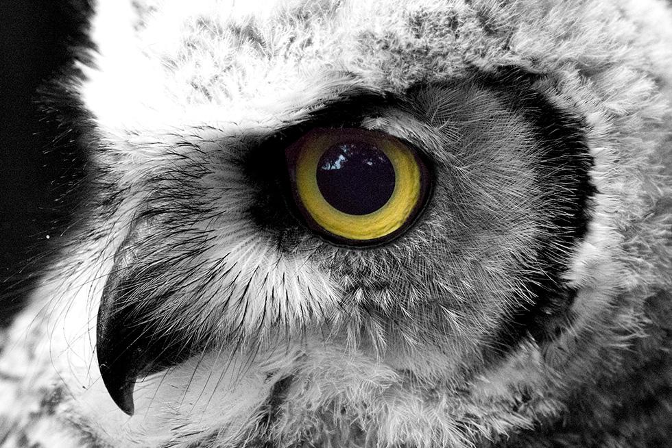 Great horned owl eyes closeup