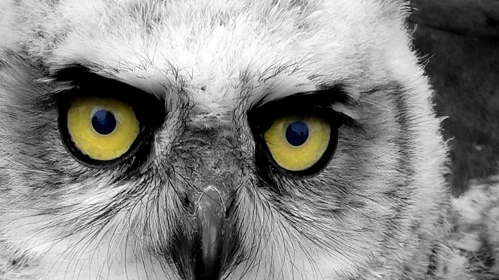 Black and white photo of a Great horned owl with yellow eyes