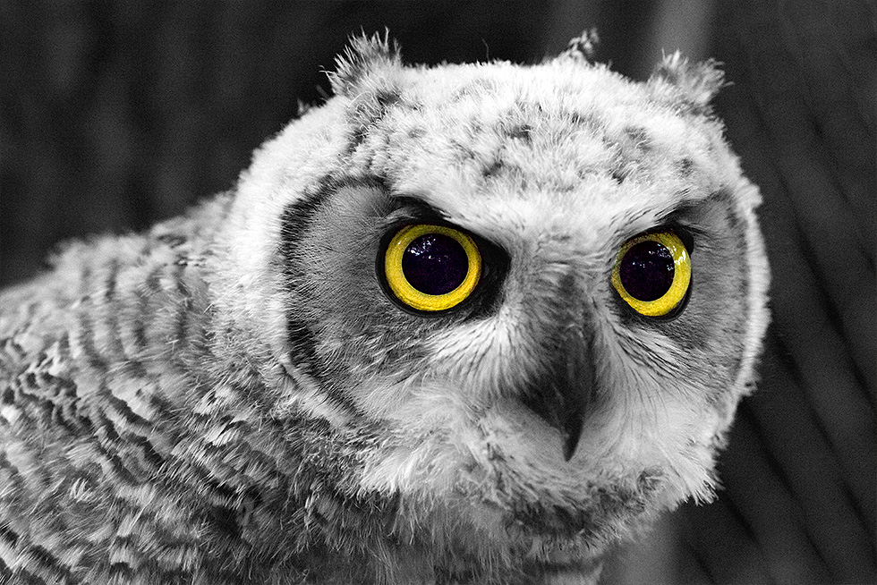 Baby great horned owl eyes closeup