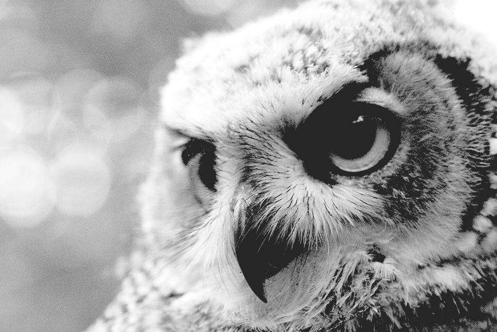 Monochrome image of a great horned owl