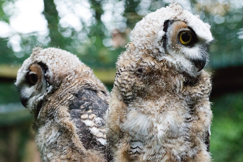 A pair of great horned owl babies sat back to back