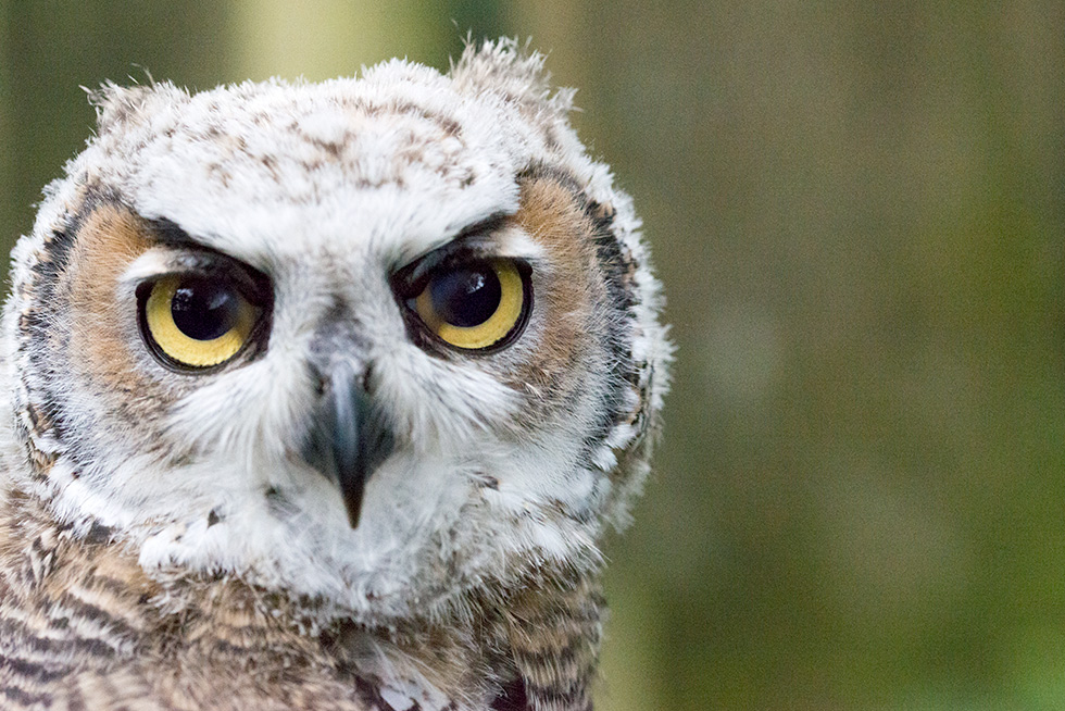 Face to face with a baby great horned owl