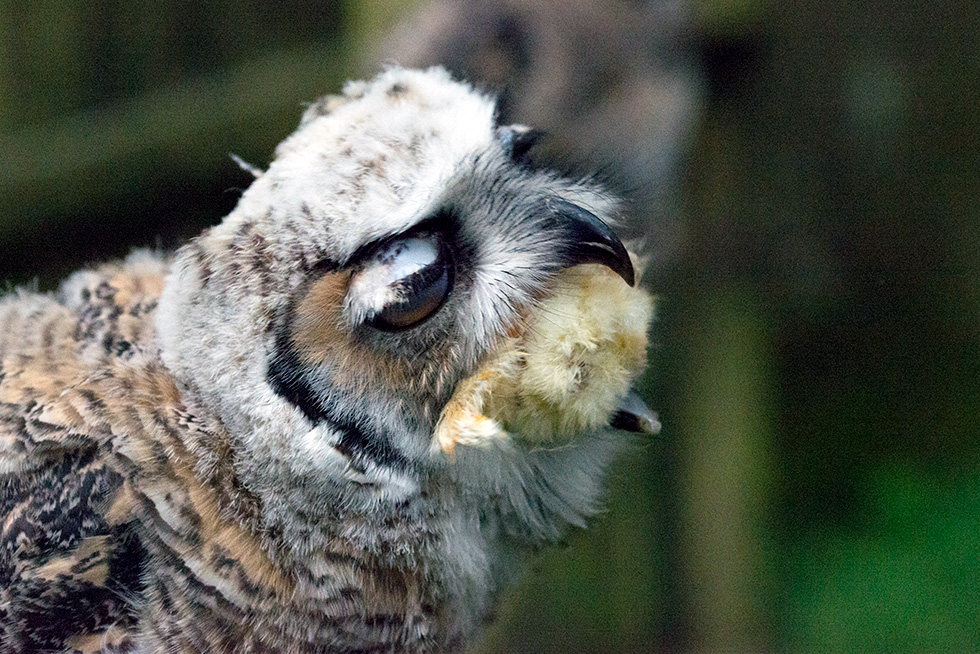 A baby great horned owl eating a chick