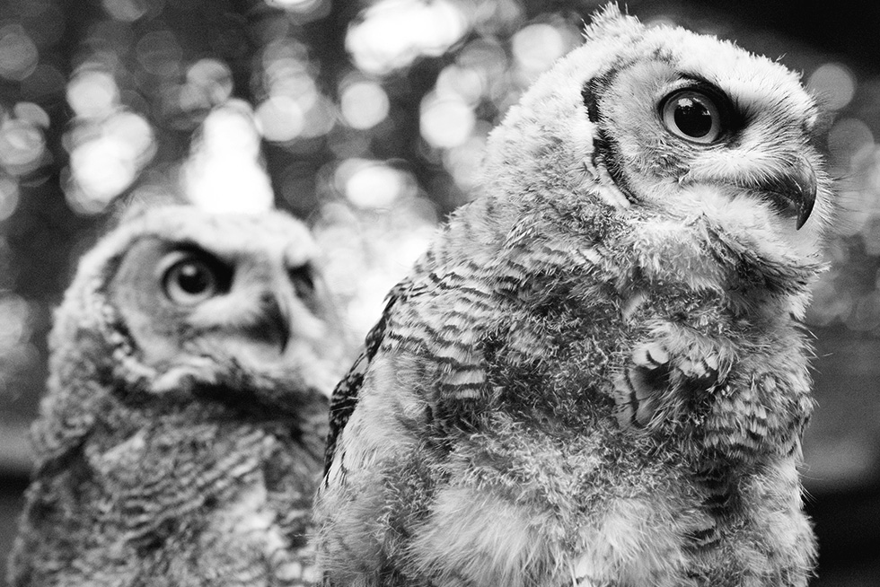 A pair of great horned owl sisters, sitting next to eachother