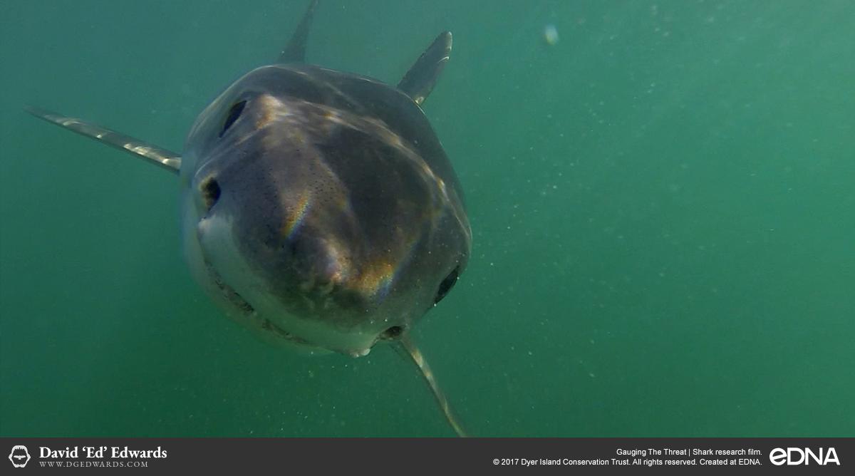 Underwater closeup of great white shark in Gansbaai, South Africa