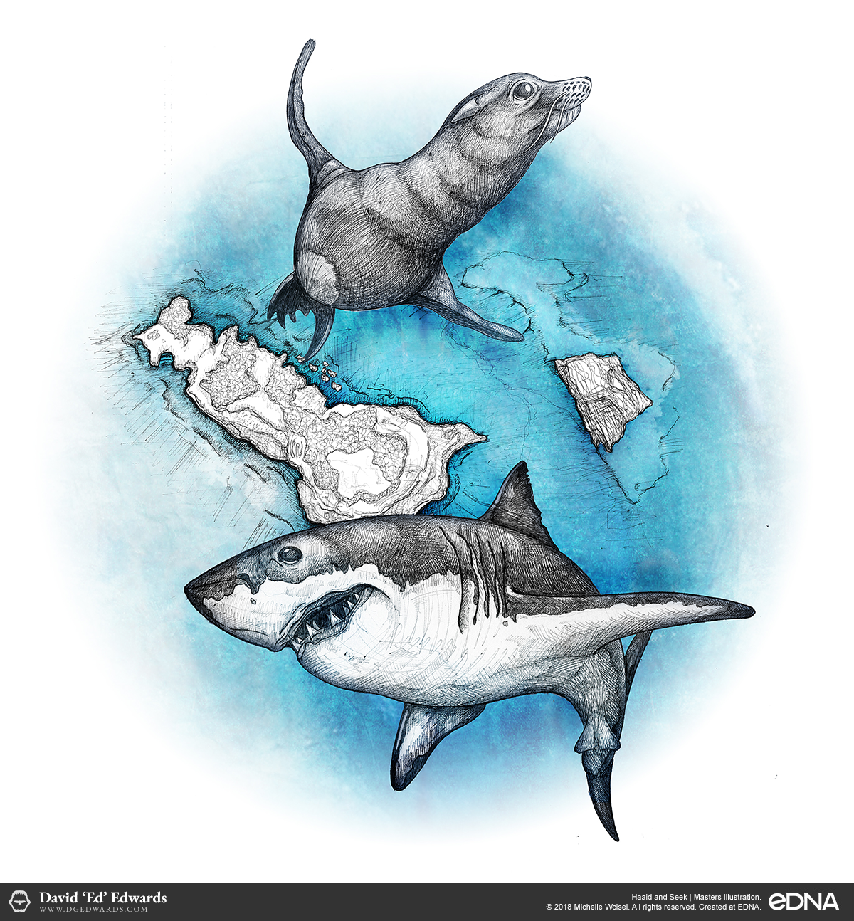 Illustration of a great white shark and cape fur seal