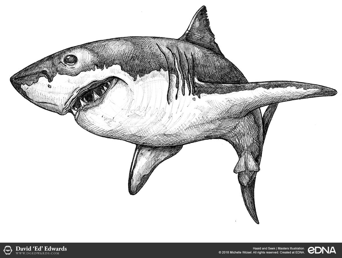 Freehand Great white shark illustration