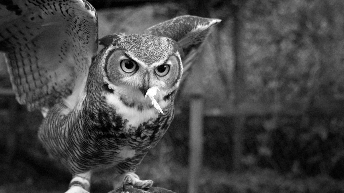 Our kids are getting big! Raising great horned owls