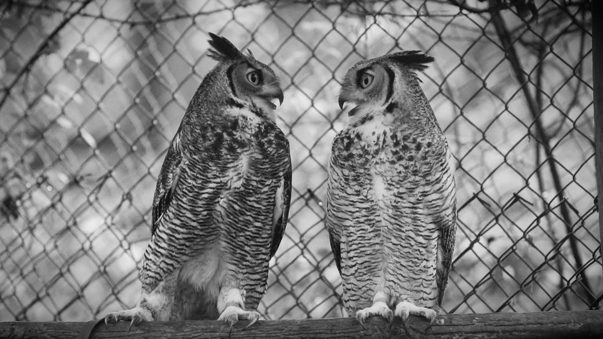 Predatory birds in slow(l) motion – Raising Great Horned Owls