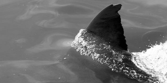 A great white shark named Flag