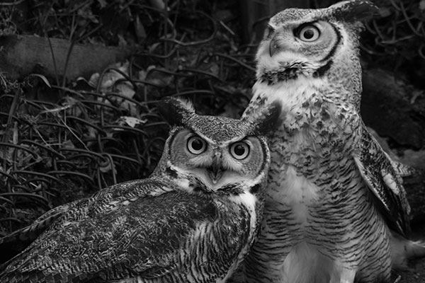 Happy birthday children – Raising Great Horned Owls
