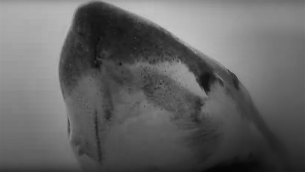 Great white sharks hunting in kelp – more footage and info