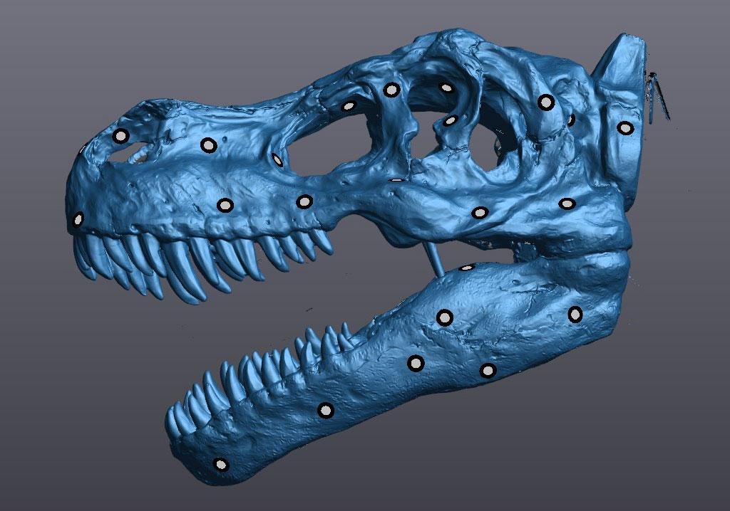 Laser scan image of T-Rex skull
