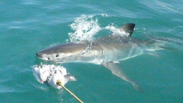 Great white shark spy hopping