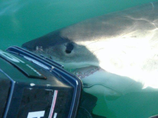 Great white shark nudging motors
