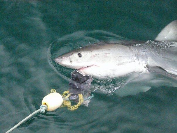 Great white shark spy hopping.