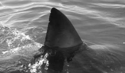 Learn more about A great white shark named Bitey