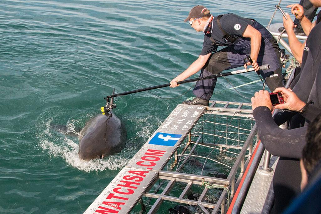 Marine scientist tags white shark
